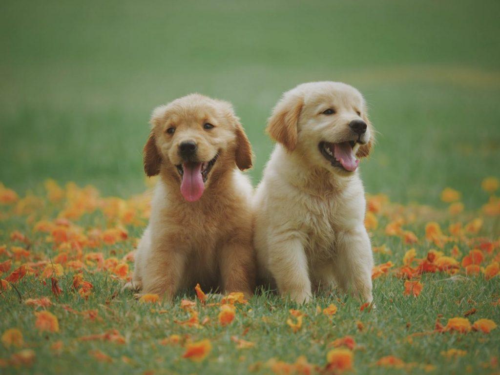 yellow-labrador-retriever-puppies