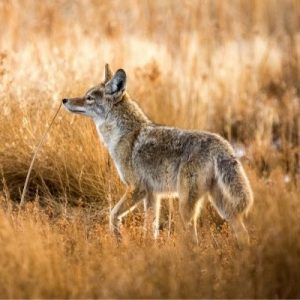 The Benefits of Hunting Coyotes in Mississippi